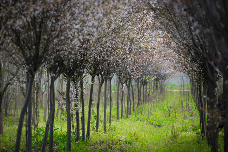 Chinees Cherry Blossom Spring Forest royalty-vrije stock afbeeldingen