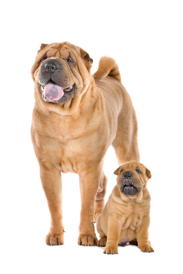 Chinees de hondvolwassene en puppy van Shar Pei stock afbeeldingen
