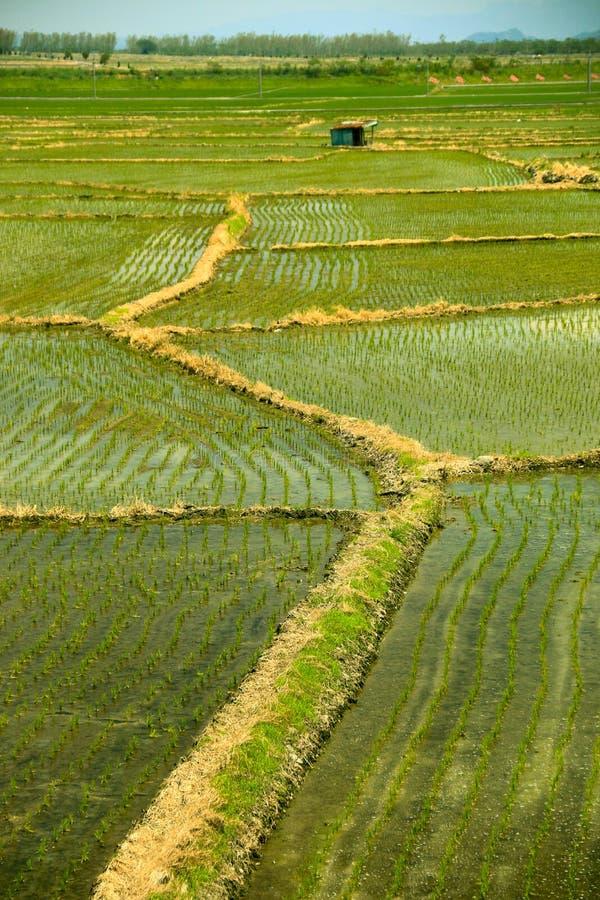 Chinees rijstlandbouwbedrijf stock fotografie