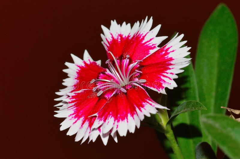 Chinensis ροζ της Κίνας Dianthus, Pune στοκ φωτογραφίες