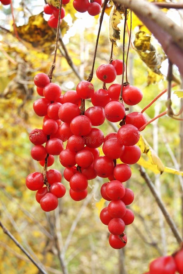 chinensis ώριμο schisandra βουρτσών μούρων στοκ εικόνα με δικαίωμα ελεύθερης χρήσης