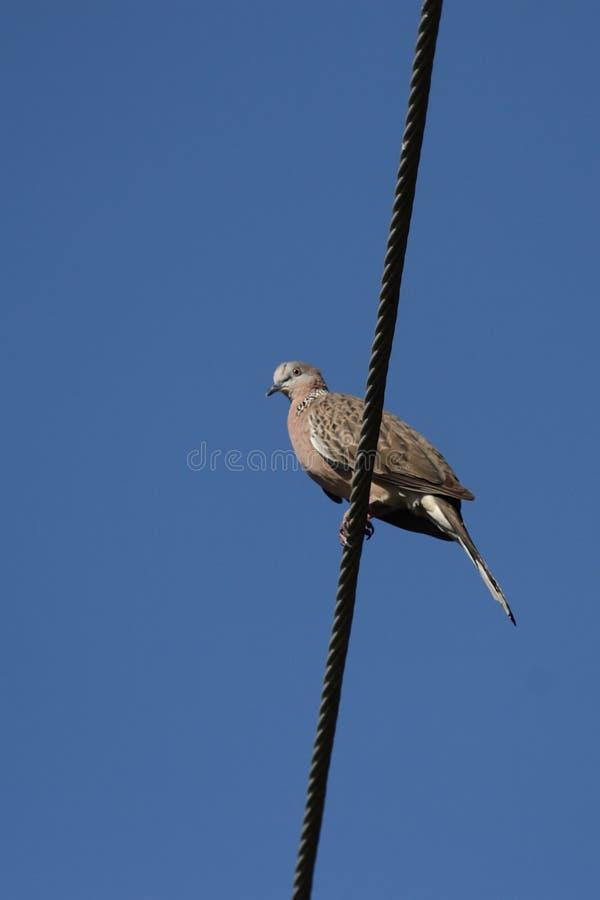 chinensis запятнанная dove черепаха streptopelia стоковая фотография rf