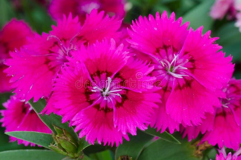 Chinensis Dianthus (het Roze van China) stock afbeeldingen