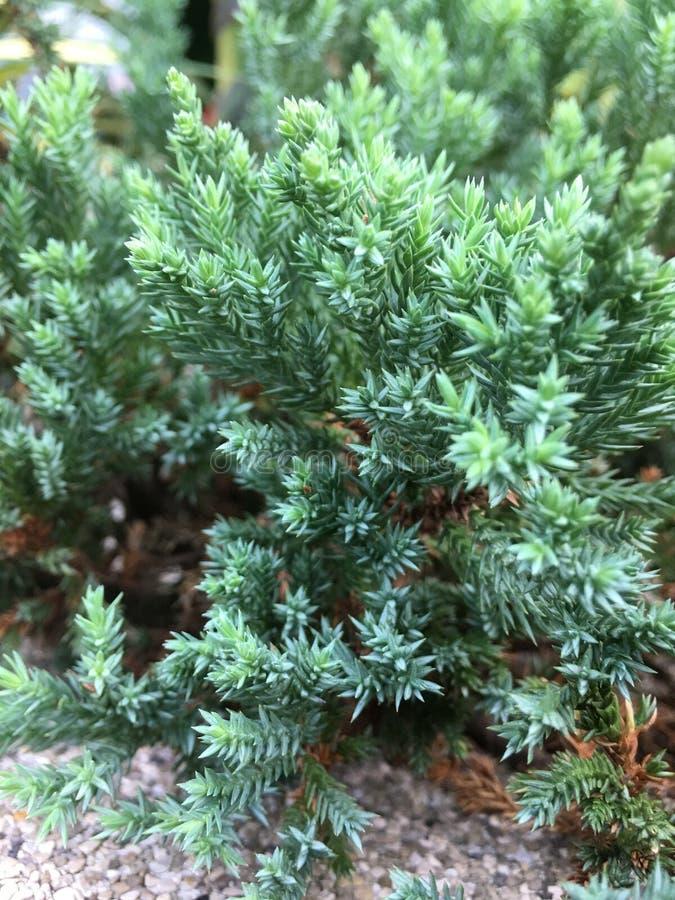 Chinensis Juniperus stock foto