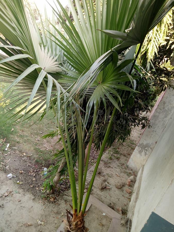 Chinensis Livistona stock fotografie