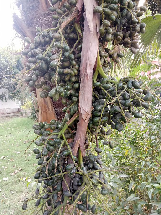 Chinensis Livistona stock afbeeldingen