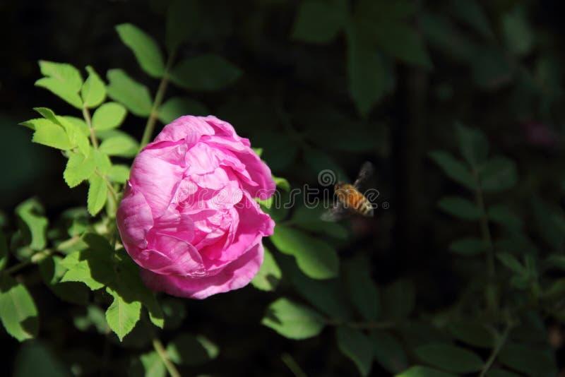 Chinensis Rosa royaltyfria bilder