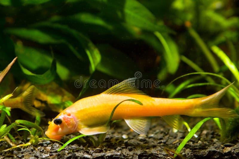 Chinese algae eater, Gyrinocheilus aymonieri sp. gold, popular freshwater ornamental fish feeds on detritis royalty free stock image