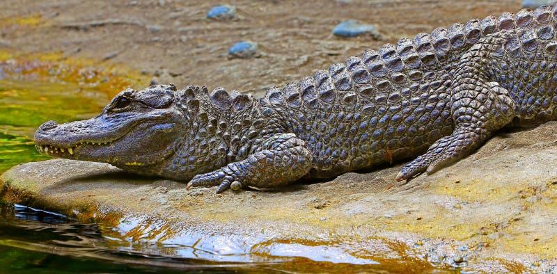 Chinese alligator stock photography