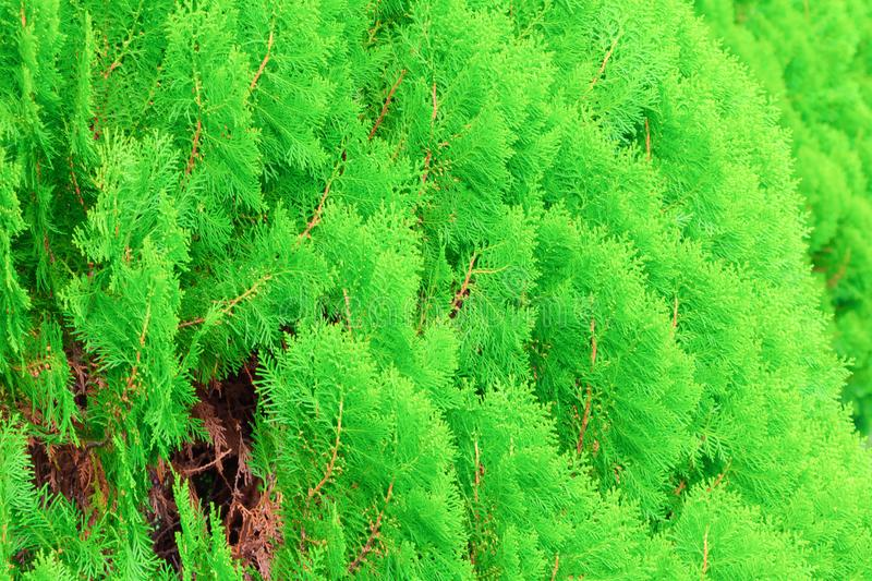 Chinese Arborvitae, Leaves of pine tree select focus with shallow depth of field Scientific Name Thuja Orientali. Chinese Arborvitae, Leaves of pine tree select stock photo