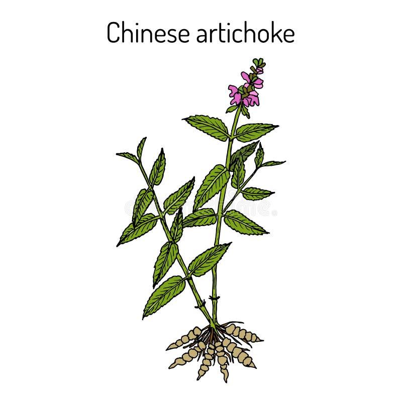 Chinese artisjok stachys sieboldii, eetbare en geneeskrachtige installatie stock illustratie
