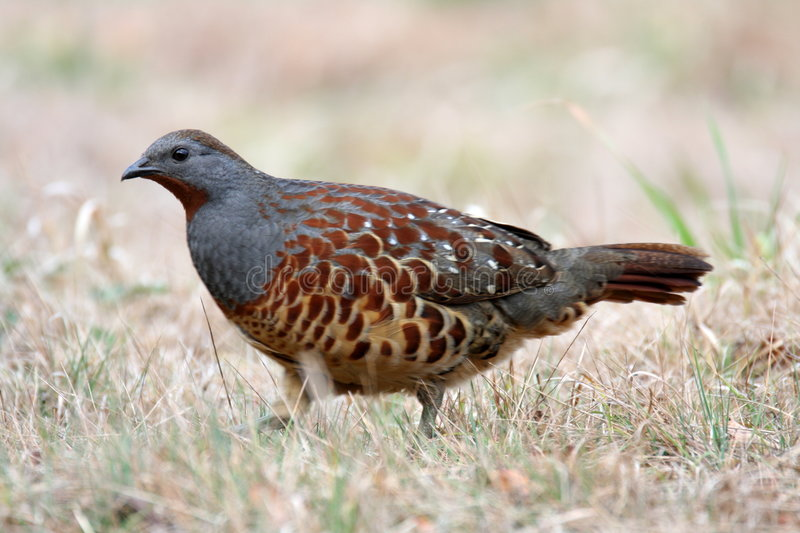 Download Chinese Bamboo Partridge stock photo. Image of funny, animal - 8234838