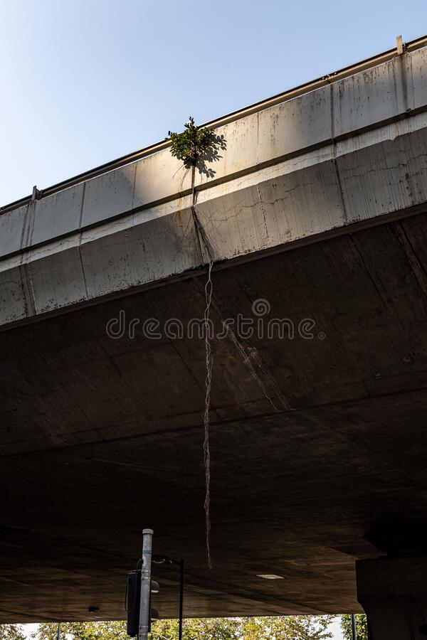 Chinese Banyan tree growing on the flyover stock images