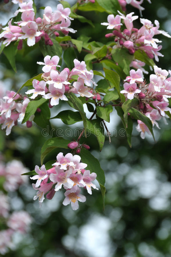 Download Chinese beauty bush stock photo. Image of beauty, ornamental - 9807434