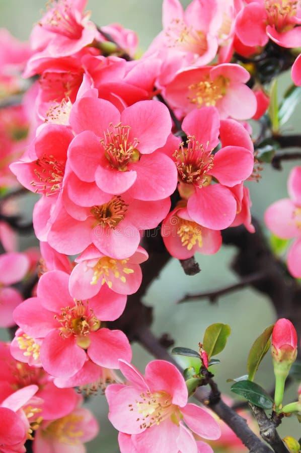 Chinese bloeiende krabappel stock afbeeldingen