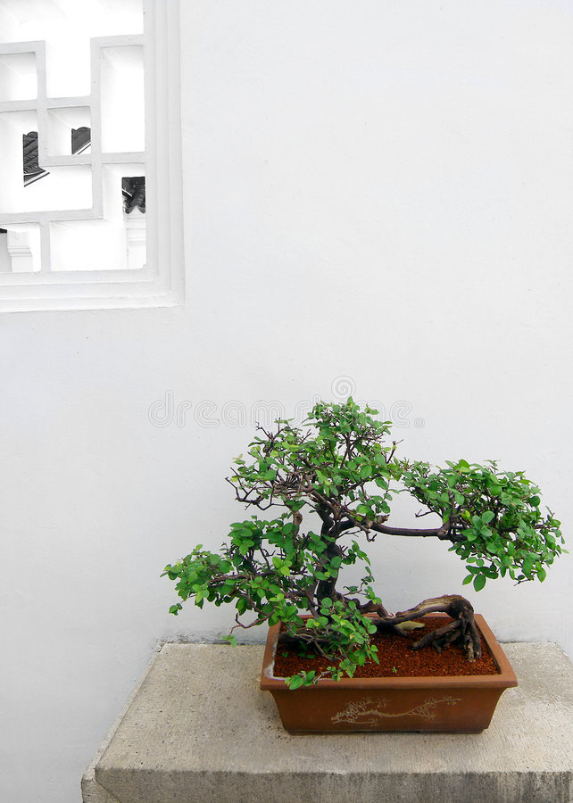 Free Chinese Bonsai Tree Plant, Potted Royalty Free Stock Photography - 8132717