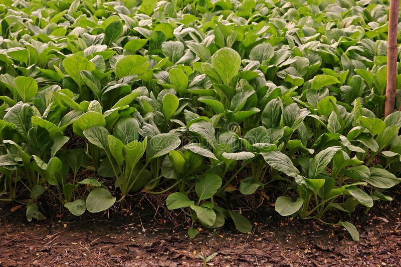 Chinese cabbage or Bok choy, leafy vegetable in brassica family royalty free stock photo