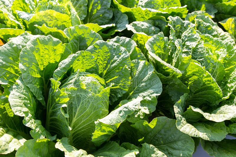 Chinese cabbage in field. Close up chinese cabbage in the field royalty free stock image