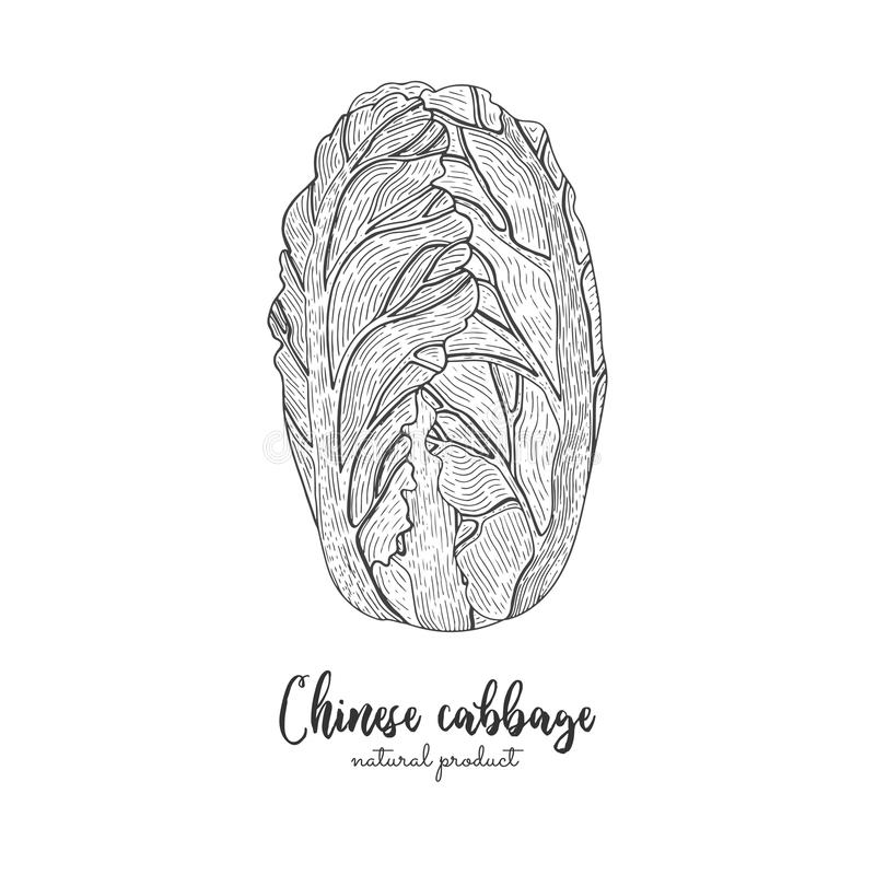 Chinese cabbage hand drawn vector illustration. Isolated vegetable engraved style object. Detailed vegetarian food royalty free illustration