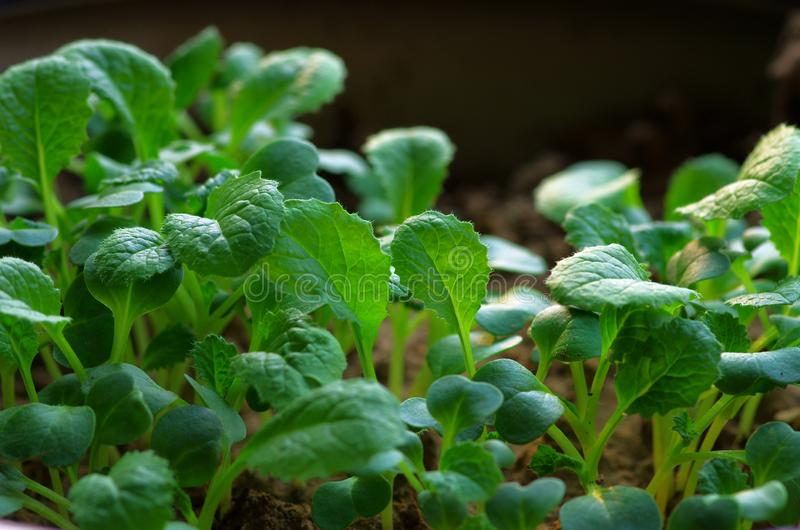 Chinese cabbage that has just grown leaves stock photo