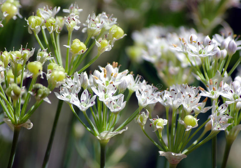 Download Chinese Chive Flowers And Seeds Stock Image - Image: 11364717