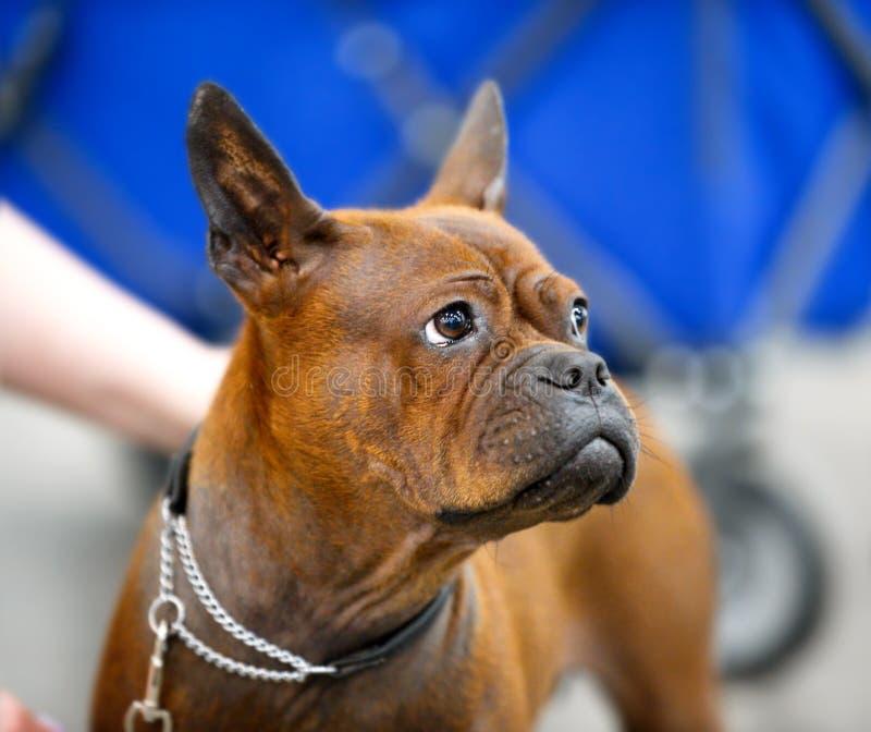Chinese-Chongqing Dog-Porträtnahaufnahme lizenzfreies stockfoto
