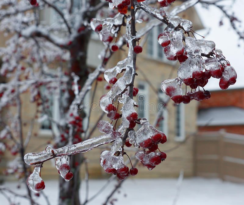 Chinese crabapple tree ice winter royalty free stock photo