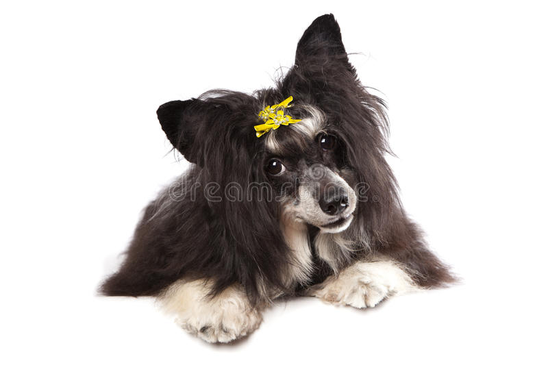 Download Chinese Crested Dog stock image. Image of portrait, copy - 28371793