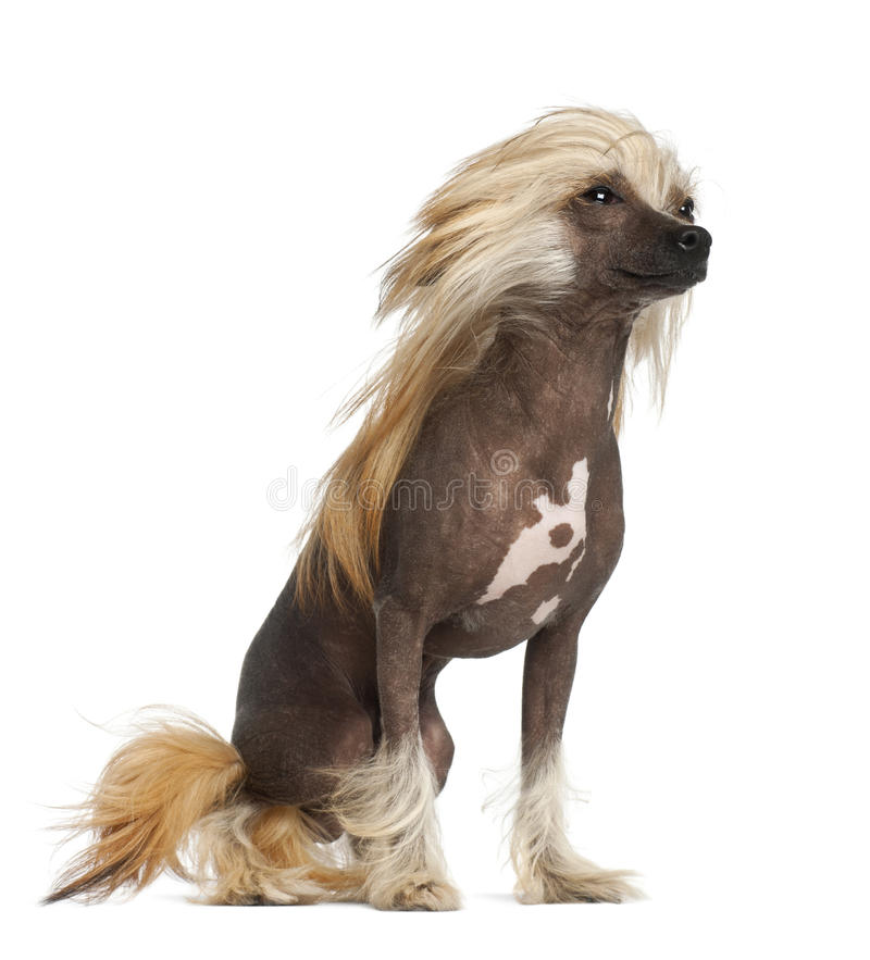 Chinese Crested Dog, 9 months old stock photography