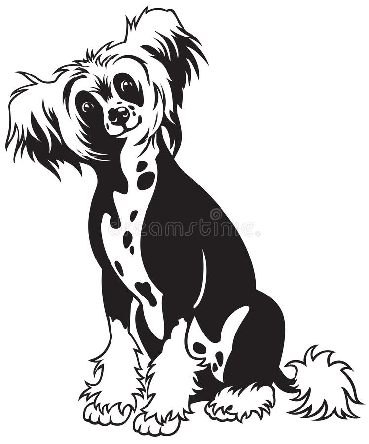 Chinese crested dog black white. Chinese crested dog breed,black and white picture,front view image ,sitting pose stock illustration
