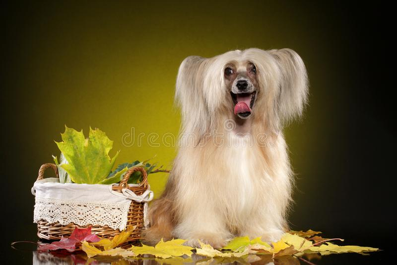 Chinese Crested Dog. On yellow background royalty free stock image