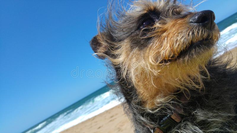Chinese crested dog close up on beach. Close up of a chinese crested powder puff pet dog on a beach with blue sky stock photography