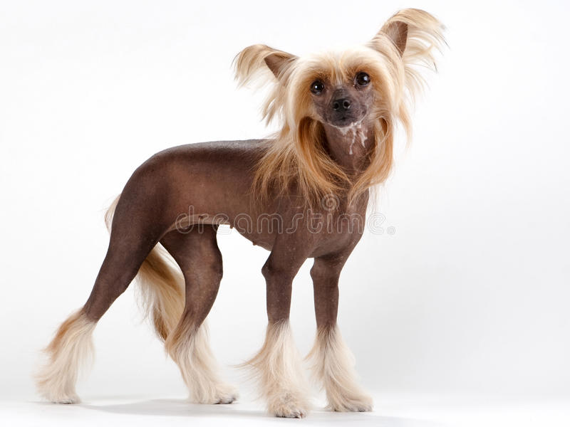 Download Chinese Crested Dog female stock image. Image of breed - 11180467