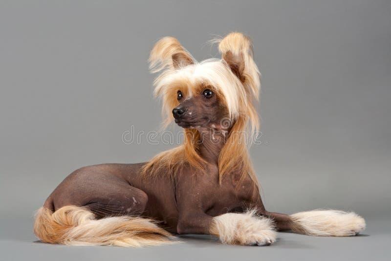 Chinese Crested Dog female royalty free stock photo