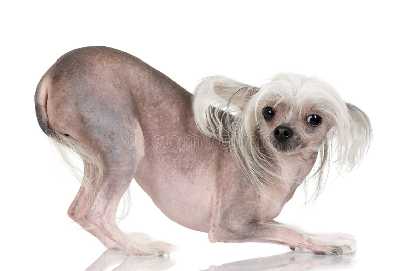 Chinese Crested Dog - Hairless stock images