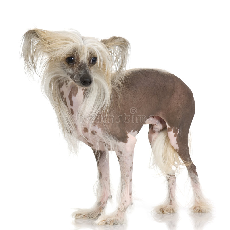 Free Chinese Crested Dog - Hairless Royalty Free Stock Images - 2671729