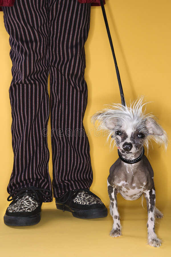 Chinese Crested dog on leash. stock photos