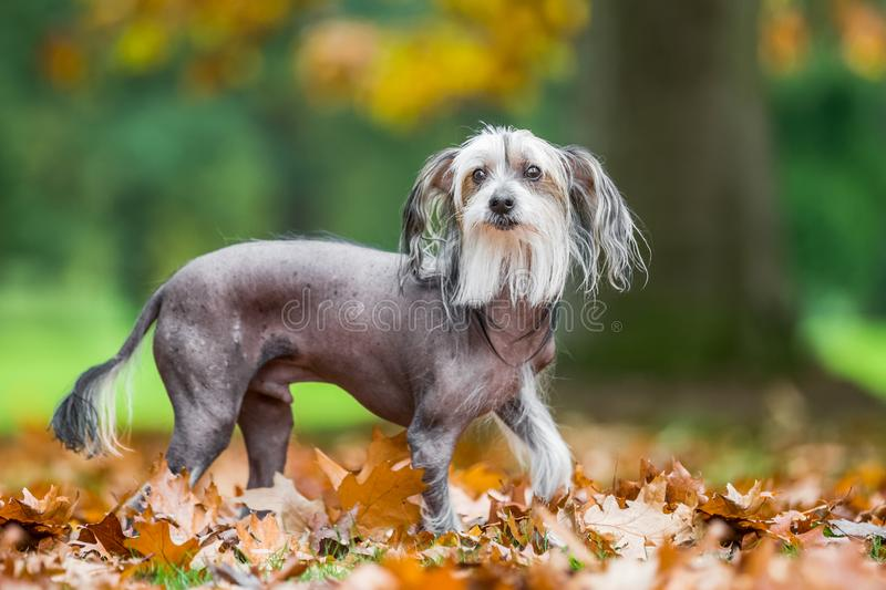 Chinese Crested Dog looking at the camera in autumn fall leaves. A mostly hairless dog in a park, countryside meadow or field of grass. green background. clear royalty free stock photo