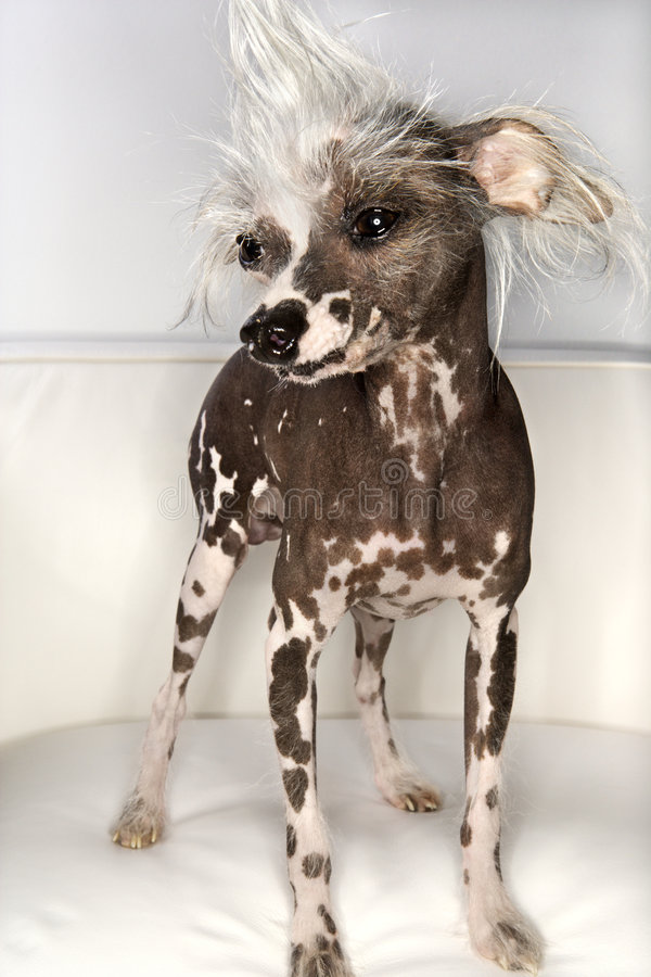 Chinese Crested dog portrait. Chinese Crested dog portrait on white stock photos