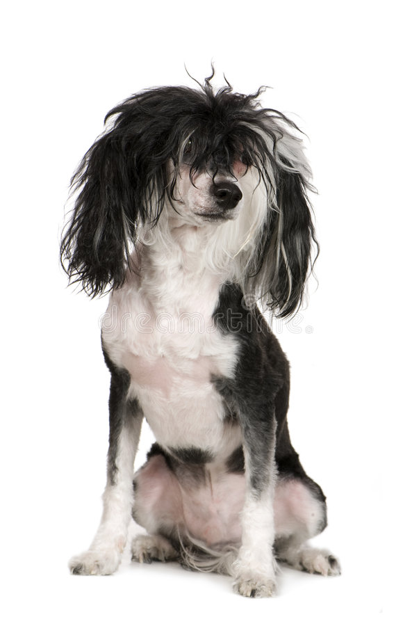 Chinese Crested Dog - Powderpuff (4 years). Dog in front of a white background stock photography