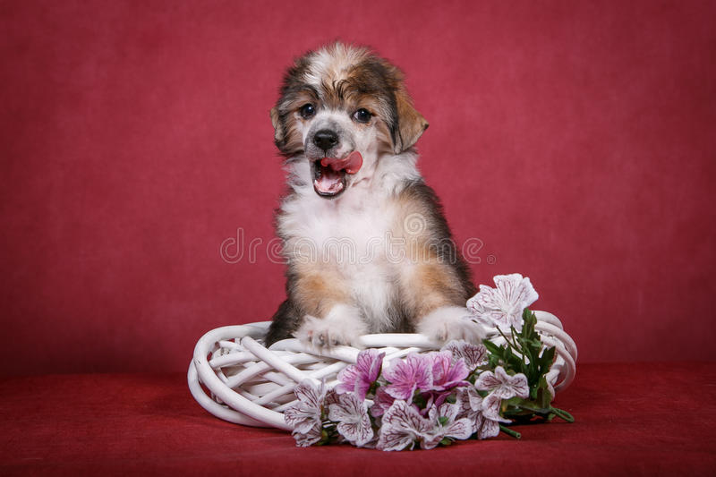 Chinese crested dog puppy on a white wreath with flowers. Licked stock photos