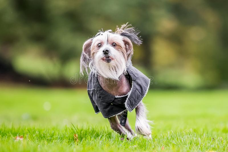 Chinese Crested Dog running in the countryside in a coat. A mostly hairless dog in a park, countryside meadow or field of grass. green background. clear eyes stock image