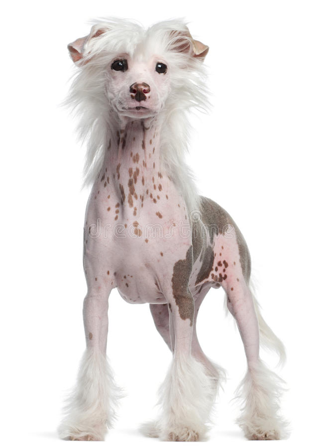Chinese Crested dog, standing royalty free stock photography
