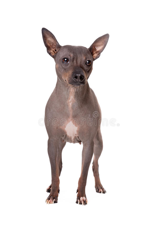Chinese crested dog. Standing in front of a white background stock photography