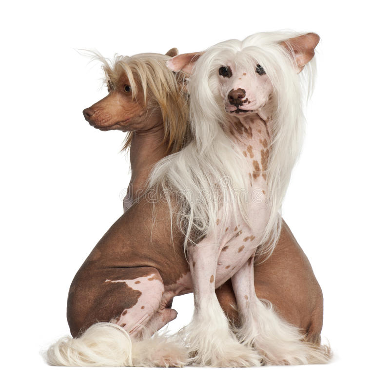 Chinese Crested Dogs, 11 and 16 months old royalty free stock images