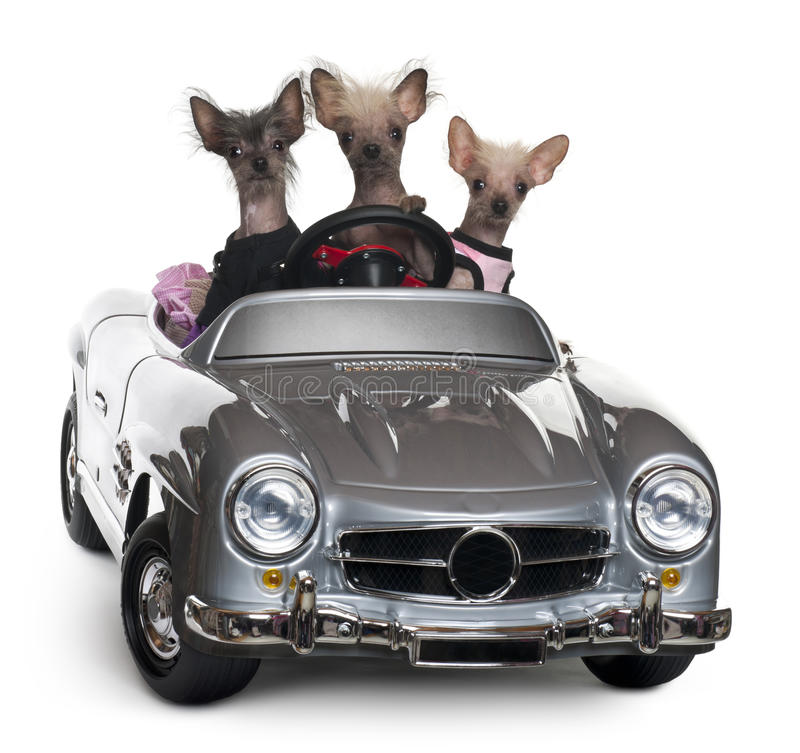 Chinese Crested dogs driving convertible. In front of white background stock photos