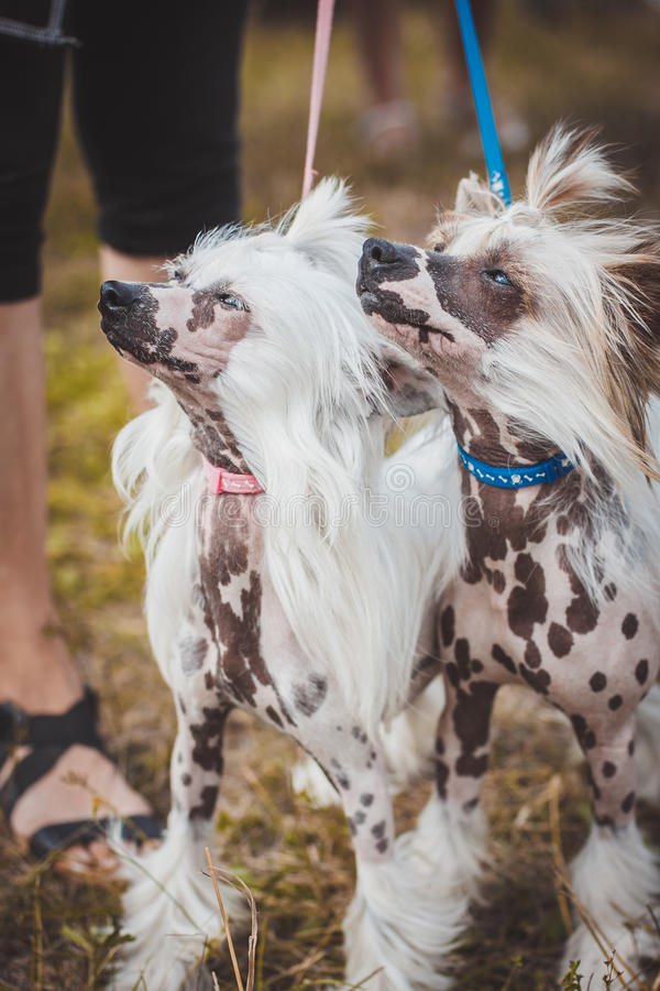 Download Chinese Crested At An Exhibition Of Dogs Stock Photo - Image: 83708613