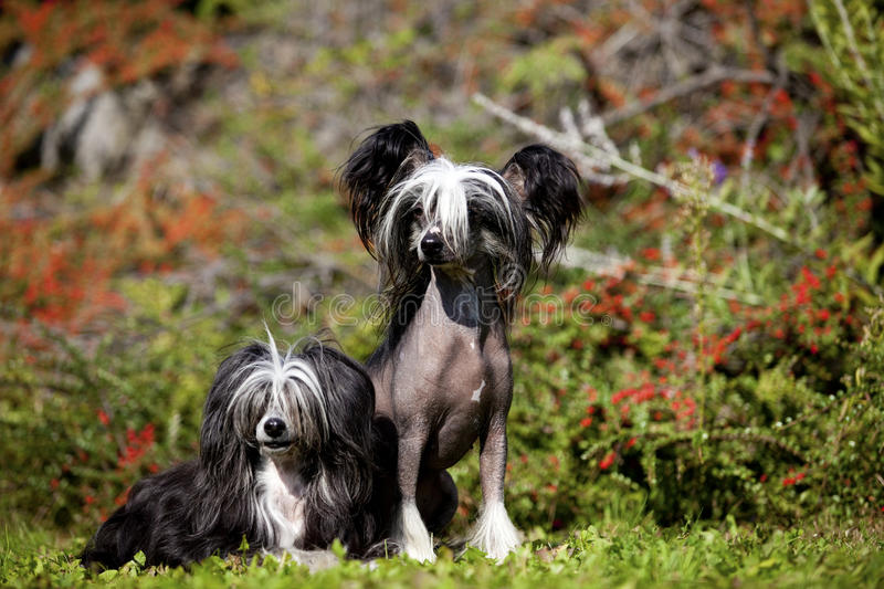 Download Chinese Crested Hairless And Poderpuff Dogs Stock Image - Image of head, front: 34414365