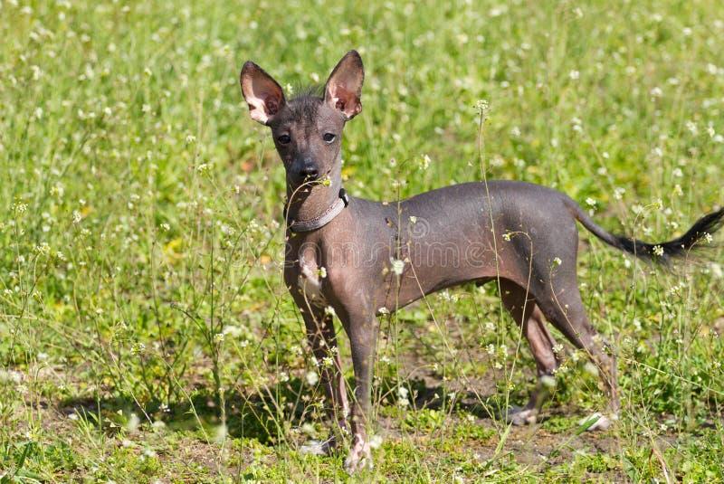 Chinese Crested-Hund stockfoto