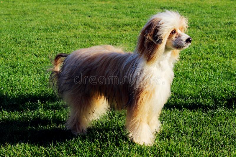 Chinese Crested outside. Cute little dog outdoor. Full length image of a dog. royalty free stock images